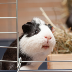 Use The Avenues Vets' list to beat the Guinea Pig Holiday Blues