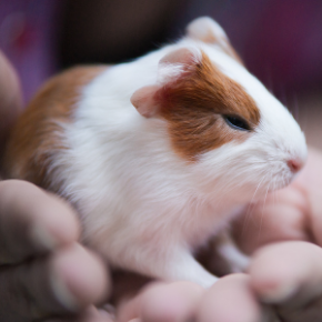 Advice on guinea pig breeding from Avenues Vets